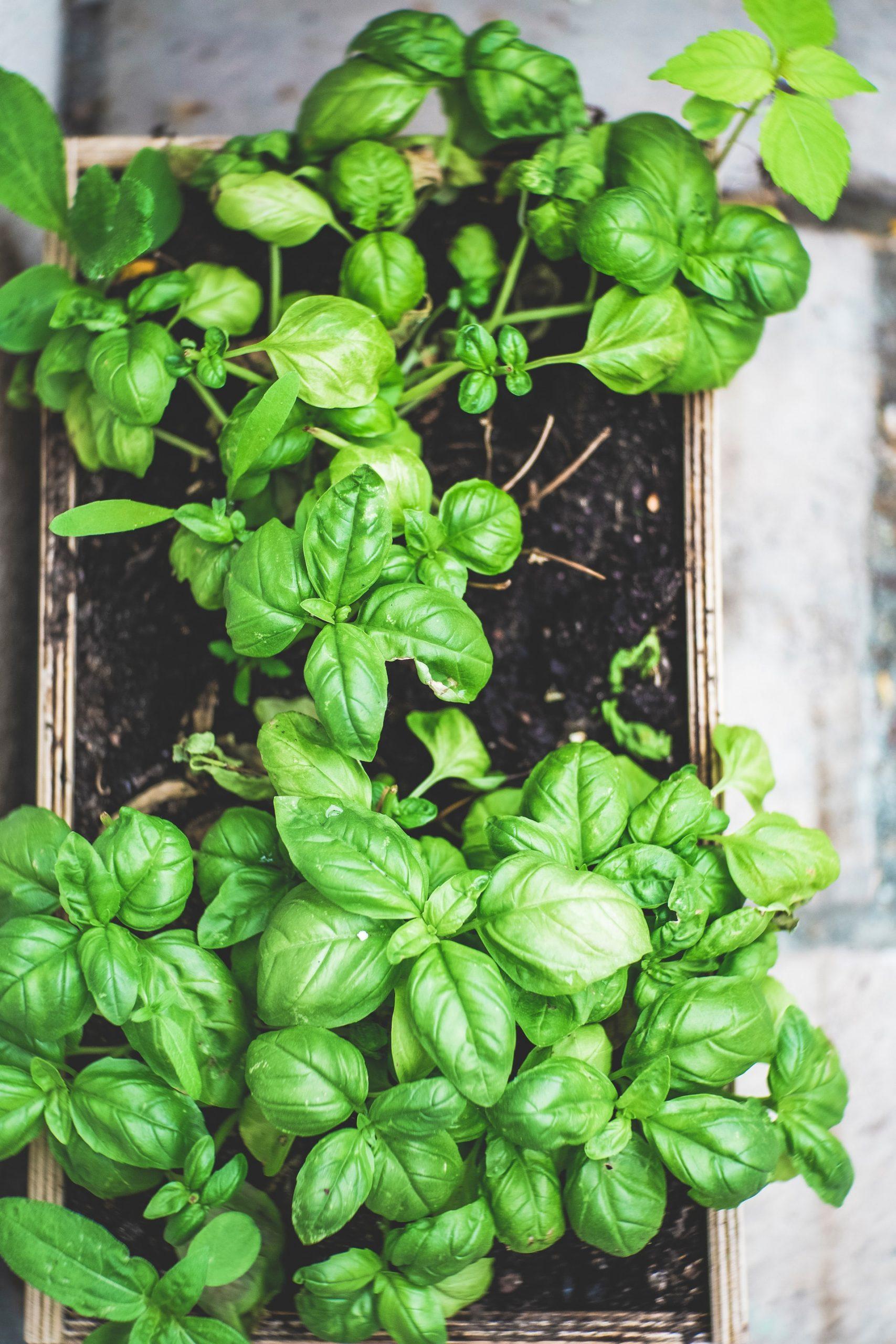 Vibrant green basil plant for Pasta alla Norma