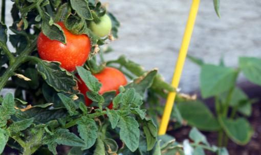 Retouched Arizona tomatoes